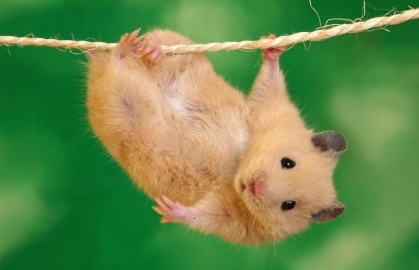 hamster_07-612